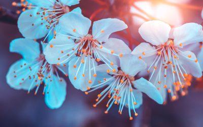 Kirschblüten-Wanderung